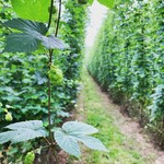 It's #hop harvest season again and we're looking forward to joining the guys @brookhousehops on Saturday for their annual hop walk. We have a number of beers lined up which rely exclusively on English Hops and we're excited to see how the 2019 crop is shaping up! . . . . . #HopWalk #Golding #Challenger #Pilgrim #Endeavour #Fuggles #Target #Pioneer #CraftBeer #CraftnotCrap #beerstagram